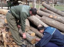 ALBA: Un padurar si un politist cercetati intr-un dosar privind taierile ilegale de lemn