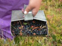 Cinci culegători de afine din Bihor sancţionaţi de jandarmii montani din Alba