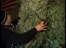 A început sezonul! Brazi de Crăciun și cherestea confiscată în Apuseni