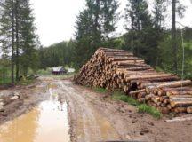 Olar ar fi invidios! Se taie arbori mai vechi de 70 de ani!