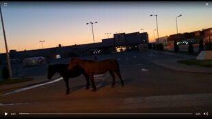 Herghelie ad-hoc in buricul targului! Cai plimbându-se nestingheriți în zona Kaufland Alba Iulia